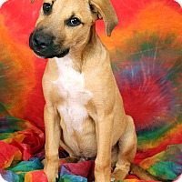 Adopt A Pet :: Padre ShepMix - St. Louis, MO