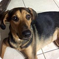 Adopt A Pet :: Bailey - Royal Palm Beach, FL