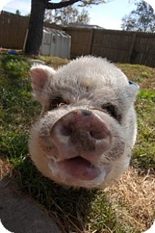 Pig (Potbellied) for adoption in Martinsville, Indiana - Pigs