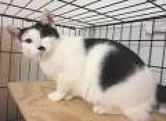 Domestic Mediumhair Cat for adoption in Stuart, Virginia - Bridget