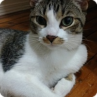 Domestic Shorthair Cat for adoption in Aylmer, Ontario - Frank