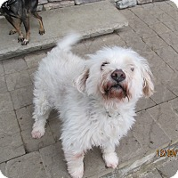 Terrier (Unknown Type, Small)/Poodle (Miniature) Mix Dog for adoption in Wapwallopen, Pennsylvania - Melvin - 10