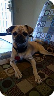 Pug Mix Dog for adoption in San Angelo, Texas - Sammy