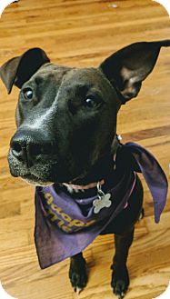 Bull Terrier/Pit Bull Terrier Mix Dog for adoption in Fort Collins, Colorado - Stella (FORT COLLNS)