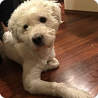 Adopt A Pet :: Desmond - Tumwater, WA