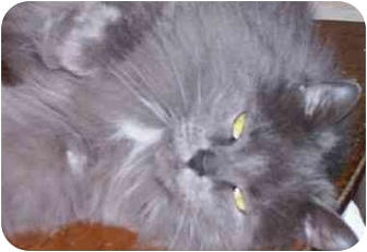 Maine Coon Cat for adoption in cincinnati, Ohio - Ashley
