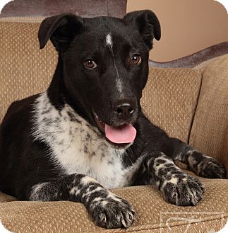 Australian Cattle Dog/Border Collie Mix Puppy for adoption in Marietta, Georgia - Diesel