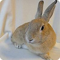 Adopt A Pet :: Foxy Lady - Los Angeles, CA