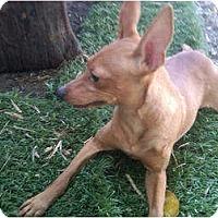 Adopt A Pet :: Bambi - Sun Valley, CA