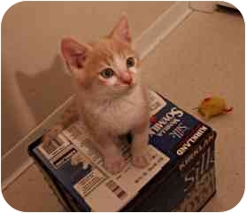 American Shorthair Kitten for adoption in San Jose, California - Angel