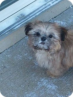 shih tzu rescue ohio dayton oh shih tzu mix meet salmon a dog for adoption 7518