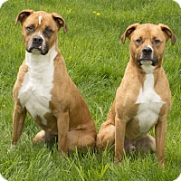 Adopt A Pet :: Roxy & Buddy - Chicago, IL