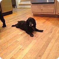 Adopt A Pet :: Sherman - Alpharetta, GA