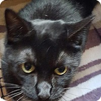 Domestic Shorthair Cat for adoption in New Bedford, Massachusetts - Steven