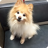 Adopt A Pet :: Bailey - Las Vegas, NV