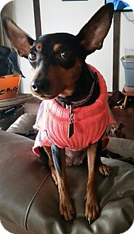 Miniature Pinscher Dog for adoption in Crestview, Florida - Dolly
