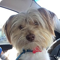 Adopt A Pet :: Champagne - Encino, CA