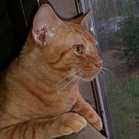 Adopt A Pet :: ♥ Tommen ♥ - Middleburg, FL