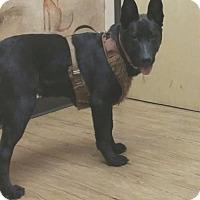 Adopt A Pet :: Yogi - tucson, AZ