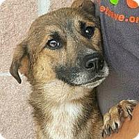 Adopt A Pet :: 384715 Abe - San Antonio, TX