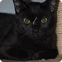 Domestic Shorthair Cat for adoption in Lafayette, New Jersey - Jinxy
