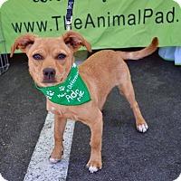 Adopt A Pet :: Chorizo - San Diego, CA