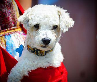 Miniature Poodle Dog for adoption in Redondo Beach, California - Marley-ADOPT Me!
