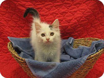Domestic Mediumhair Kitten for adoption in Redwood Falls, Minnesota - Spencer