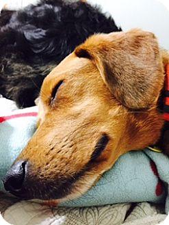 Beagle/Collie Mix Dog for adoption in Davenport, Iowa - Orvis