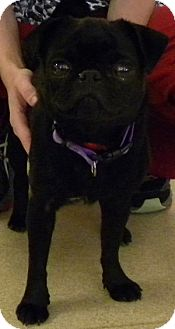 Pug Dog for adoption in Farmington, Michigan - Violet