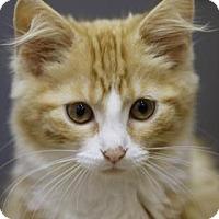 Domestic Longhair Kitten for adoption in Binghamton, New York - Daffy Duck