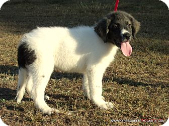 Bullmastiff/Great Pyrenees Mix Puppy for adoption in Waterbury, Connecticut - Jake/ADOPTED