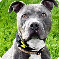 American Staffordshire Terrier Dog for adoption in Logan, Utah - Rowdy