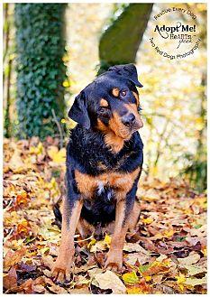Rottweiler Mix Dog for adoption in Seattle c/o Kingston 98346/ Washington State, Washington - Rye