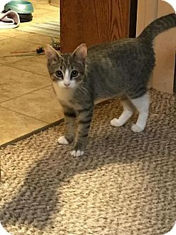 Domestic Shorthair Kitten for adoption in Parker Ford, Pennsylvania - Rayne