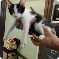 Adopt A Pet :: Bambino - Mt. Vernon, IL