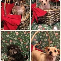 Adopt A Pet :: Snowball - Chino Hills - Chino Hills, CA