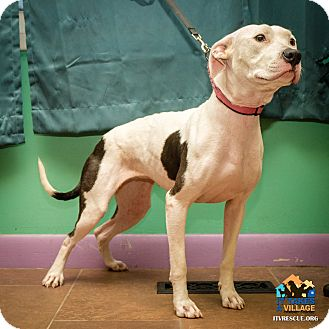 Pit Bull Terrier Mix Dog for adoption in Evansville, Indiana - Babie