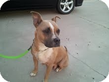 English Bulldog/American Staffordshire Terrier Mix Dog for adoption in Scottsdale, Arizona - Samantha aka Momma's
