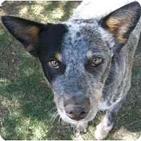 Adopt A Pet :: Tycho - Phoenix, AZ