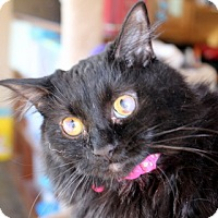 Domestic Mediumhair Cat for adoption in Danville, Kentucky - HELEN