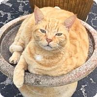 Adopt A Pet :: Macaroni - Bonita Springs, FL