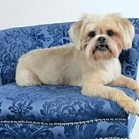 Lhasa Apso Mix Dog for adoption in Houston, Texas - Portland Cartwright