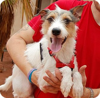 Parson Russell Terrier/Fox Terrier (Wirehaired) Mix Dog for adoption in Las Vegas, Nevada - Ferdinand