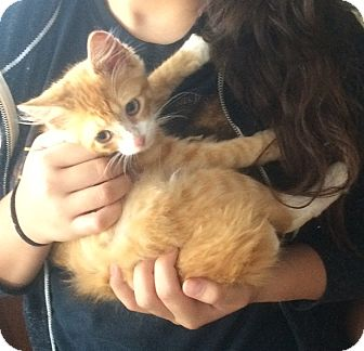 Domestic Mediumhair Kitten for adoption in Sparta, New Jersey - Butters