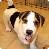 Adopt A Pet :: Pooh Bear - New City, NY