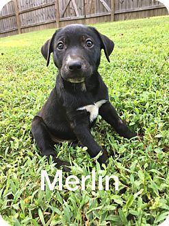Labrador Retriever/Shepherd (Unknown Type) Mix Dog for adoption in Olive Branch, Mississippi - Merlin-Male