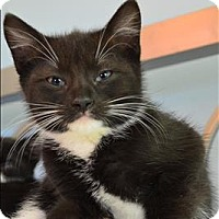 Adopt A Pet :: Eeyore - Sherwood, OR