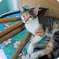 Calico Cat for adoption in Toledo, Ohio - Renee