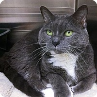 Adopt A Pet :: Cuddles - Webster, MA
